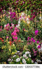 Rainbow Colored Snapdragon Flowers Bloom among Geraniums and Daisies in a Garden outside of Amsterdam, Netherlands