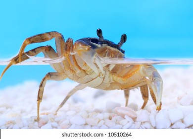 Rainbow crab under water
