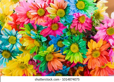 Rainbow Daisies. Chrysanthemum Rainbow Flower. Bouquets of blossom rainbow Chrysanthemum flowers, selective focus. Multi colored daisy flowers pattern background