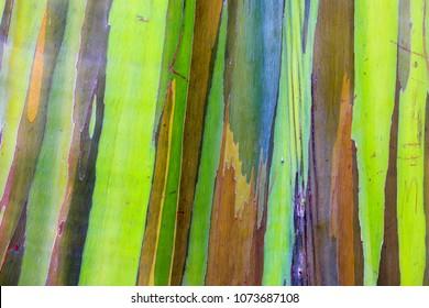 Rainbow eucalyptus in Hawaii islands