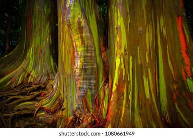 Rainbow eucalyptus on Maui