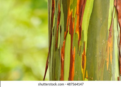 Rainbow Eucalyptus, Tisikita Rain Forest, Costa Rica
