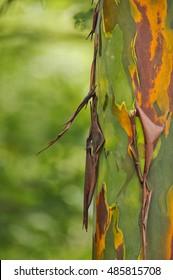 Rainbow Eucalyptus, Tiskita Rain Forest, Costa Rica