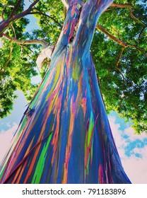 Rainbow eucalyptus tree from O'ahu