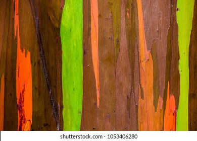 Rainbow Eucalyptus Tree in Maui