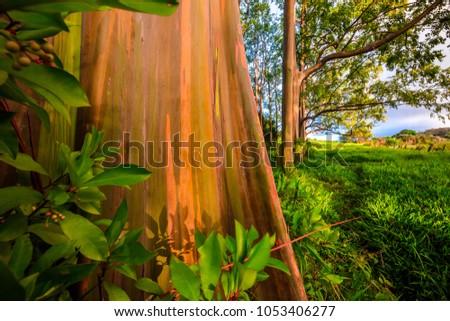 rainbow eucalyptus tree maui stock photo edit now 1053406277