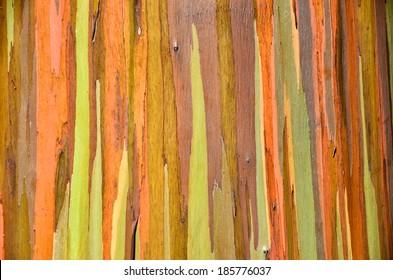 Rainbow Eucalyptus Tree Maui, Hawaii