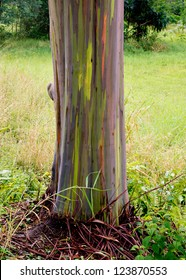 A rainbow Eucalyptus tree on the island of Kauai, Hawaii.