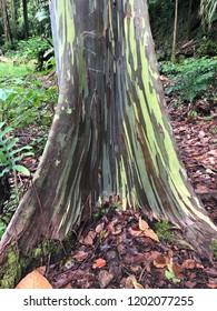 Rainbow Eucalyptus tree trunk