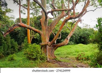 Rainbow Eucalyptus Trees, Maui, Hawaii, USA
