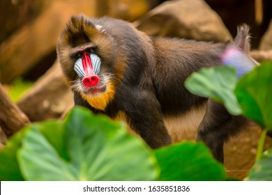 Rainbow Face Monkey Mandrill. Beautiful mandrill portrait.