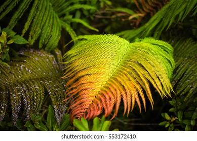 Rainbow fern from the jungles of Oahu, Hawaii. Hawaiian sword ferns andpala palai.
