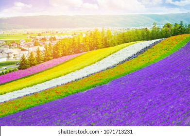 Rainbow flowers lavender and flower fields in tomita farm ,furano in Japan on summer time