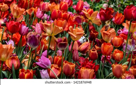Rainbow Hued Petals on a Patch of Tulips