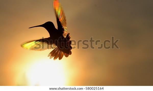 Rainbow Hummer with Setting Sun - Photograph of a Ruby Throated Hummingbird silhouetted against a setting sun which shows rainbow like colors in the wings.  Selective focus on the hummingbird.