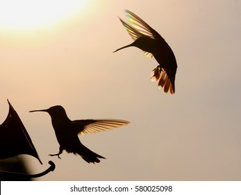 Rainbow Hummers at Feeder - Photograph of two Ruby Throated Hummingbirds trying to feed, silhouetted against a setting sun which shows rainbow like colors in their wings.