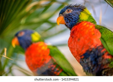 The Rainbow lori (Trichoglossus moluccanus) a species of parrot living in Australia. The bird is a medium-sized parrot, with the length ranging from 25 to 30 cm including the tail.