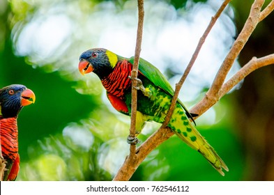 Rainbow Lorikeet bird resting on tree branch