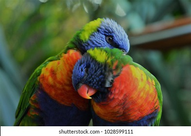 Rainbow Lorikeet birds couple