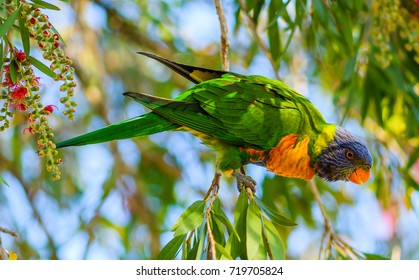 Rainbow Lorikeet in the Bottlebrush Tree - Taken at Woy Woy, Central Coast, NSW, Australia.
