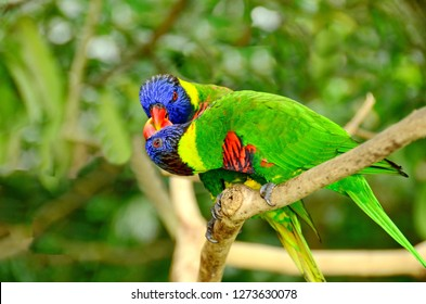 Rainbow Lorikeet courtship