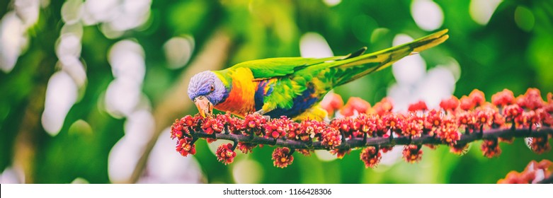Rainbow lorikeet eating flower buds off tree branch in nature wilderness park in Sydney, Australia panoramic banner. Wild parrot bird animal.