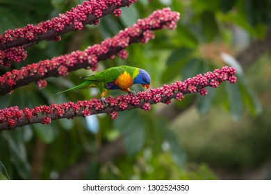 Rainbow Lorikeet feeding on berries