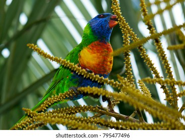 Rainbow lorikeet feeding on palm seed pods in the evening, Redcliffe, Queensland