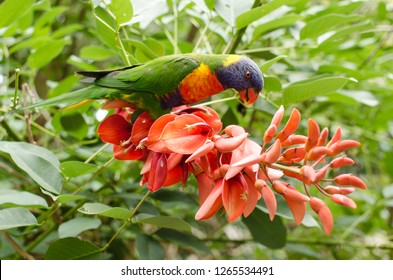 Rainbow Lorikeet feeding in Sydney, Australia