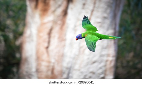 Rainbow lorikeet in flight, Flying lorikeet stop motion in the air, shot showing back detail. Nature blur background, Australia