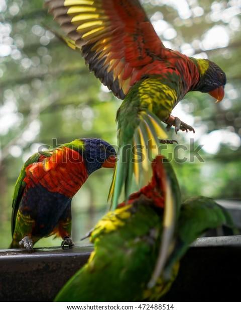 Rainbow Lorikeet Flight Known Burung Nuri Stock Photo Edit Now 472488514