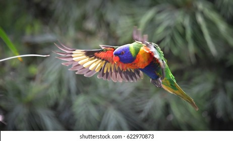 Rainbow lorikeet in flight, Stop motion of Flying lorikeet in the air. Nature blur background, Australia