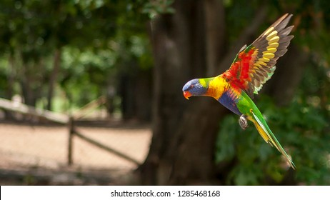 Rainbow lorikeet flying in to land with wings outstretched and feet tucked up