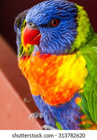 Rainbow Lorikeet Great Keppel Island Queensland Australia