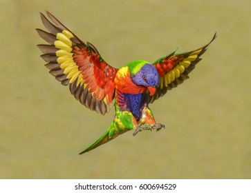 Rainbow Lorikeet./ make way.