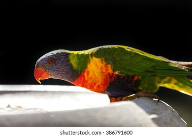 Rainbow Lorikeet on feeding bowl