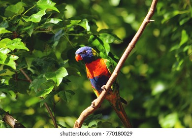 Rainbow lorikeet on tree