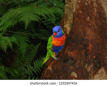 Rainbow Lorikeet parrot photography
