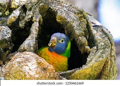 Rainbow Lorikeet parrot young bird sitting in tree hole in Perth, Western Australia  (Trichoglossus haematodus)