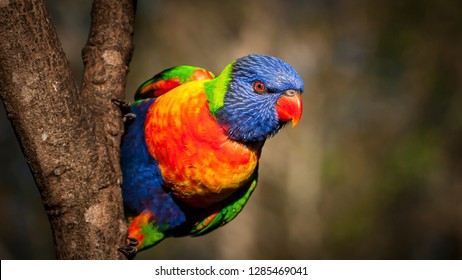 Rainbow lorikeet perched in trees