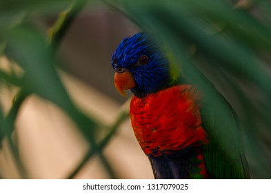 A rainbow lorikeet sitting between leaves