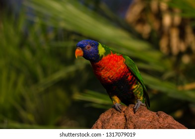 A rainbow lorikeet sitting on a rock with leaves as background