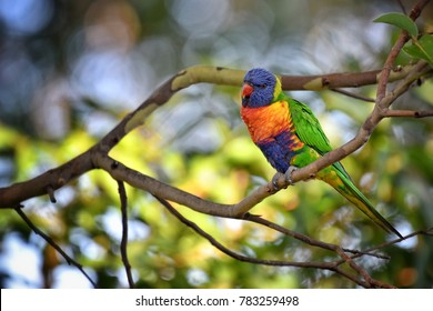 Rainbow Lorikeet at South Coast, New South Wales, Australia.