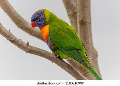 Rainbow Lorikeet - Taken at Corrigan's Reserve at Batehaven, South Coast, NSW, Australia