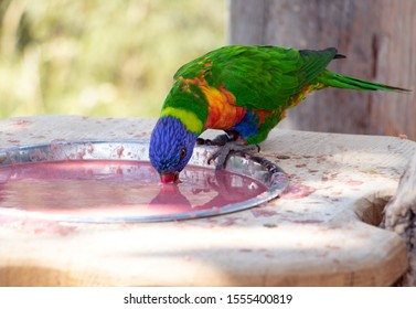 The rainbow lorikeet (Trichoglossus haematodus moluccanus) inside aviary. Colorful parrots drink from bowl.
