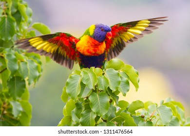 Rainbow Lorikeet with Wings Spread