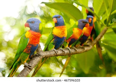 Rainbow Lorikeets perched high on a branch