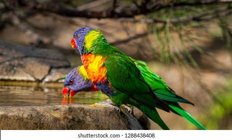 Rainbow lorikeets playing in a bird bath