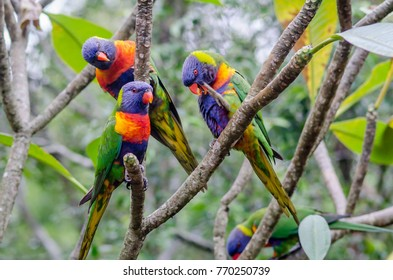 Rainbow lorikeets sitting in a tree