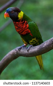 Rainbow Lorikeets standing on the branch